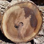 Black Walnut Veneer Logs
